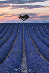 Valensole lavender fields sunset (Massimo Sotto) Tags: agriculture alpesdehauteprovence bloom blooming field flower france landscape lavande lavender lines nature noperson outdoors plateau provence purple sky sunset travel tree valensole 250