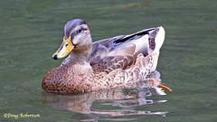 Mallard at Ninesprings (DougRobertson) Tags: duck mallard wildlife water nature animal bird birdwatcher