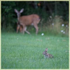 mixed company (marneejill) Tags: rabbit bunny deer