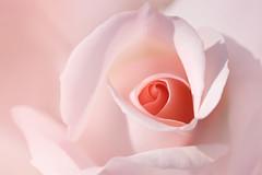 mon coeur est à toi (christophe.laigle) Tags: rose christophelaigle fleur macro nature flower fuji nantes parcdelaroseraie xpro2 xf60mm pink coth coth5