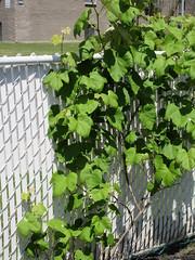 ** La vigne ** (Impatience_1) Tags: vigne vine clôture fence m impatience feuille leaf plante plant supershot coth coth5 abigfave sunrays5