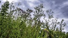 In the weeds (Tony Tomlin) Tags: whiterockbc britishcolumbia canada southsurrey weeds