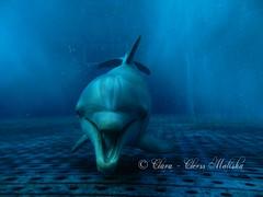 """AAAAAMMMMHH!"" (Clara - Clerss Malisha) Tags: delfini dolphins delfino dolphin dauphin dd dauphins delfinodalnasoabottiglia dolphinplays mammal mammals mammifero mammiferi marinemammals marine cute cetacei cetaceans cetaceo cetacean captivity cattività cetaceos cautiverio cucciolo nursery love lovely wonderful animal animals animale animali acquariodigenova aquariumofgenoa aquarium genova genoa liguria italy italia north species specie rostrum melon tursiope tursiopstruncatus tursiops tursiopetroncato baby mother neomamma neomother meditteranean mediterraneo intelligent interaction intelligenti interactions interazione intelligente"