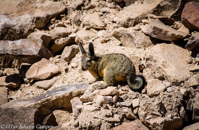 Viscacha - Southern Viscacha