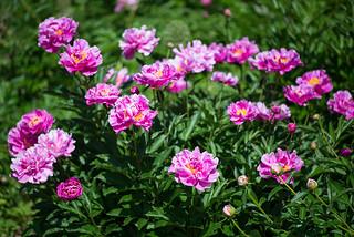 Paeonia (Paeoniaceae)