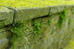 Asplenium trichomanes (damianziel) Tags: pentax pentaxk50 primelens pentaxprimes 35mm smc smcpdal35mmf24al nature naturephotography bokeh dof plants koblenz deutschland germany green flora world naturaleza