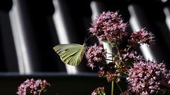 Großer Kohlweißling (Pieris brassicae) (dl1ydn) Tags: dl1ydn voigtländer colorskopar f3580mm manuell nature garden closeup schmetterlinge falter kohlweisling dof bokeh nahaufnahmen garten animals butterfly kb 24x36