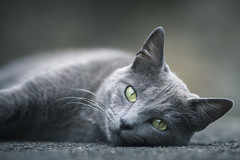 Green eyes (Marc Andreu) Tags: chat cat animal eyes yeux yellow green jaune look vert velue bokeh hairy nature gris mignon regard patte kitten chaton chartreux grey wildlife outdoor animaldecompagnie pet marcandreu félin mammifère
