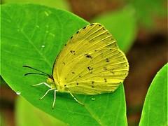 Common Grass Yellow (d_taron) Tags: india kerala butterflies pieridae coliadinae eurema euremahecabe