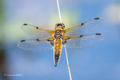 Four Spotted Chaser D85_3351.jpg (Mobile Lynn) Tags: fourspottedchaser nature dragonfly insects fauna insect wildlife elstead england unitedkingdom gb