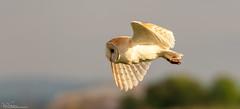 Barn Owl Away Hunting (Steve (Hooky) Waddingham) Tags: bird british barn countryside coast nature northumberland flight hunting prey photography wild wildlife