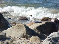 coastguard (achatphoenix) Tags: wildlife dk dänemark danmark december juni wasser water eau aqua nordseeland zealand northzealand möwe gull seabirds seagull