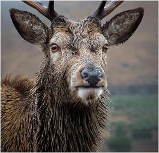 A highland faceoff