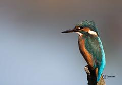 Kingfisher (GPNR) (simon.williams28) Tags: nature north east birds twitcher twitchers northumberlandwildlifetrust durhamwildlifetrust wildlife naturereserve lowbarnsnaturereserve gosforthparknaturereserve