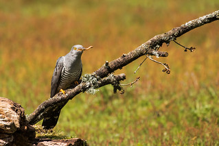 Colin the cuckoo having a nibble