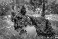 20180720 Maggie Mae16293-Edit (Laurie2123) Tags: fujixt2 laurieturnerphotography laurietakespics laurie2123 maggie missmaggie scottie scottishterrier backyard ball blackscottishterrier blackdog red blackandwhite bnw monotone