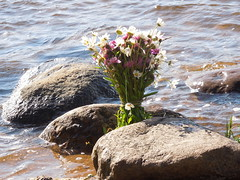 Russian bouquet (cloversun19) Tags: water sea rock bright river neva country leningradskayaoblast stone russia russian branch chamomile chamomiles stones nevariver flower flowers love lovestory story summer warm spray sprays sand beach village nature waves sun shine view august 3august 2017 summer2017 positive bouquet summerbouquet russianbouquet gift glory beauty happy flowering bloom blossom blossoming blooming