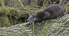 Otter (KHR Images) Tags: otter lutralutra wild mammal suffolk eastanglia riverotter eurasianotter wildlife nature nikon d500 kevinrobson khrimages
