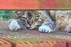 IMG_2558 (d_fust) Tags: fust katze cat ronja tier haustier kätzchen animal кот gato katt 貓 kissa γάτα 猫 kedi macska แมว gatto बिल्ली gatito γατάκι yavrusu 小貓 kitten का बच्चा anak kucing gattino 仔猫 고양이