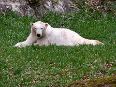 Vera - Charlotte - Eisbären - Tiergarten Nürnberg (ElaNuernberg) Tags: eisbärvera eisbärcharlottealiaslottchen tiergartennürnberg nurembergzoo zoo zooanimals zootiere eisbär ijsbeer isbjorn ourspolaire orsopolare jääkaru niedźwiedźpolarny ursusmaritimus polarbear