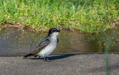 Eastern Kingbird - Tyrannus tyrannus (AnthonyVanSchoor) Tags: eastern kingbird tyrannus rileys lock potomac montgomerycountymaryland senecaquad39077a3 marylandbiodiversityproject