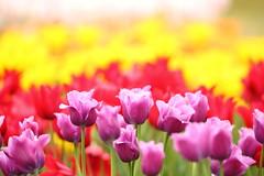 Bright (Teruhide Tomori) Tags: nature flower spring japan japon kyoto tulip kyotobotanicalgarden plant