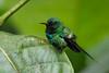 Green Thorntail (S.G.Davis) Tags: thorntail green hummingbird ecuador