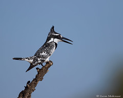 Pied Kingfisher (leendert3) Tags: select leonmolenaar southafrica krugernationalpark wildlife nature birds piedkingfisher ngc coth5 npc