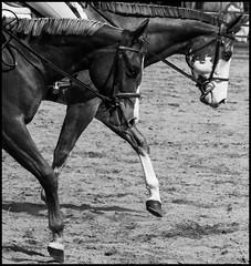 Winston and Friend (JBayPhotographie) Tags: show monochrome horse paint animal nature ring black white hoof bridal harness leg eye mane reigns western pleasure sand