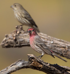 House Finch (cindyslater) Tags: wildlife smiles cindyslater redhead bird goldenvalleyaz sparrow arizona housefinch redbird flickr animal