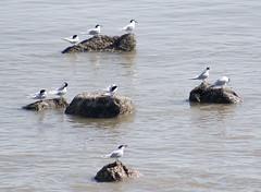 On the rocks (Gill Stafford) Tags: gillstafford gillys image photograph wales northwales conwy rhosonsea rocks gulls blackheadedgulls sandwich tern