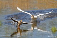 Chasse à l'oie ! (Goodson73) Tags: oie cygne lac didier bonfils goodson73 bourget du chasse course