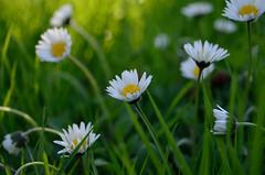 P52 Week 17 | Earth Day (Steph*Powell) Tags: green daisy white yellow bokeh nikond5100