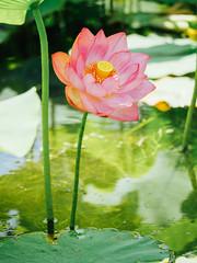* (t*tomorrow) Tags: panasonic lumix gx8 100400mm flower 花 蓮