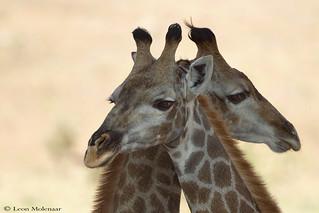 Cuddling Giraffes