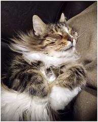 sweet dreams... (kurtwolf303) Tags: cat tomcat katze kater haustier pet kurtwolf303 cäsar unlimitedphotos mainecoon lazy sleeping animal tier frame fotorahmen