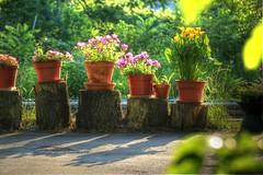 Petunia Row IMG_7560 (ForestPath) Tags: petunias pots treetrunksections shadows evening callalilies yellow pink green driveway backyard home cincinnati ohio summer sunshine