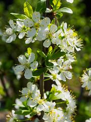 Plum blossoms (Raoul Pop) Tags: garden home flowers spring plumblossoms