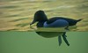 Duck- Above & Below (Scott 97006) Tags: duck swim zoo display animal bird feathers refraction