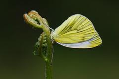 Pieris napi (3) (JoseDelgar) Tags: insecto mariposa pierisnapi 426301658724574 josedelgar naturethroughthelens alittlebeauty coth coth5