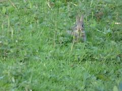 Wild baby rabbit (LouisaHocking) Tags: rabbit baby nature wild wildlife car cardiff forestfarm