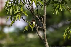 20180708-0I7A8781 (siddharthx) Tags: 7dmkii bird birdwatching birding birdsinthewild bishanangmokiopark canon canon7dmkii ef100400f4556isii ef100400mmf4556lisiiusm nature singapore singaporeparks trek urbanbirds urbangreens sg whitethroatedkingfisher whitebreastedkingfisher kingfisher