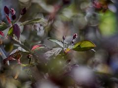 Bubble shooter (BeMo52) Tags: baum bokeh buds flowers garten licht macro malus natur nature reflections reflexionen schatten shrub strauch tree zierapfel makro blume blüte hss