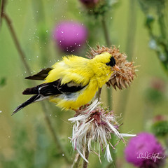 Drying Off (dcstep) Tags: dsc4304dxo rain water shake male goldfinch americangoldfinch finch bird cherrycreekstatepark colorado usa aurora sonya9 fe100400mmf4556gmoss fe20xteleconverter handheld allrightsreserved copyright2019davidcstephens dxophotolab dxoprimenoisereduction