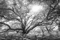 Backlit Oak (OneEighteen) Tags: oak tree seabrook texas bw blackandwhite
