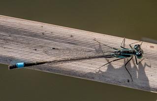 DSC7427  Blue-tailed Damselfy..