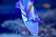 Picasso Triggerfish (thatSandygirl) Tags: fish triggerfish picassotriggerfish blackbartriggerfish thepicassotriggerfish picassofish jamal tropical reef blue brown aquarium mystic sand