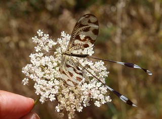 Nemoptera bipennis (Explore)