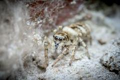 Zebra Spider (Salticus Scenicus) (Paul Tremble) Tags: spider jumping zebraspider wildlife garden uk british bugs macro macrobug macrospider canon canon7dmkii sigma105 warwick england unitedkingdom zebra jumpingspider