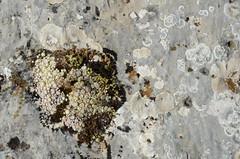 Comme une île (RarOiseau) Tags: plante rocher nature hautesalpes joubarbe